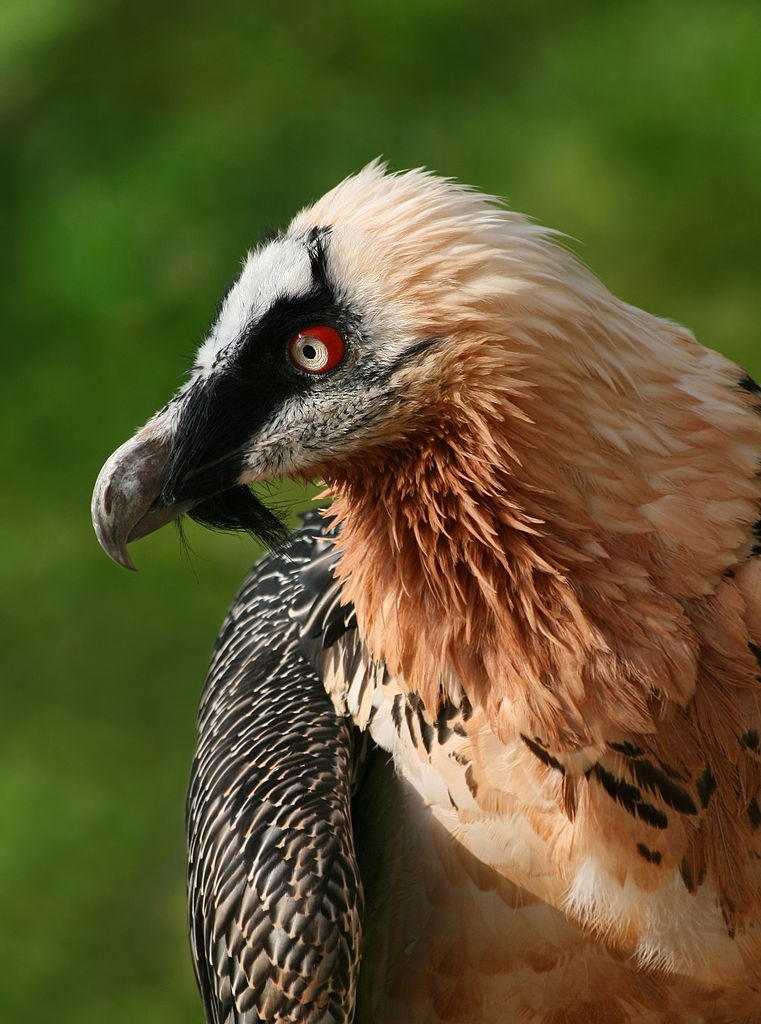 The Pineo mineral water bearded vulture